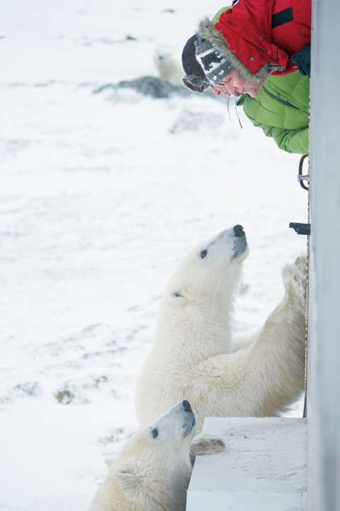 Eisbären in Churchill