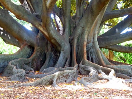 Moreton Bay Fig, Welcome Aboard, Kings Park