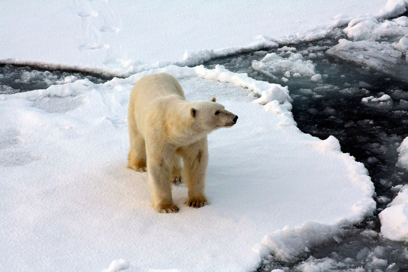 Eisbär Arktis