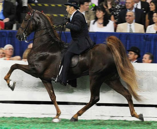 Tennessee-Walking-Horse / Horse-Soring-Verbot