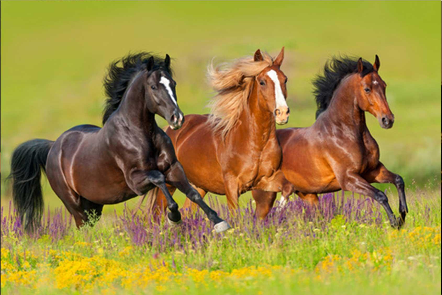 Vorhand der Pferde, Galopp, Alte Meister, , Antoine de la Baume Pluvinel, François Robichon de La Guérinière, François Baucher, Nuno Oliveira