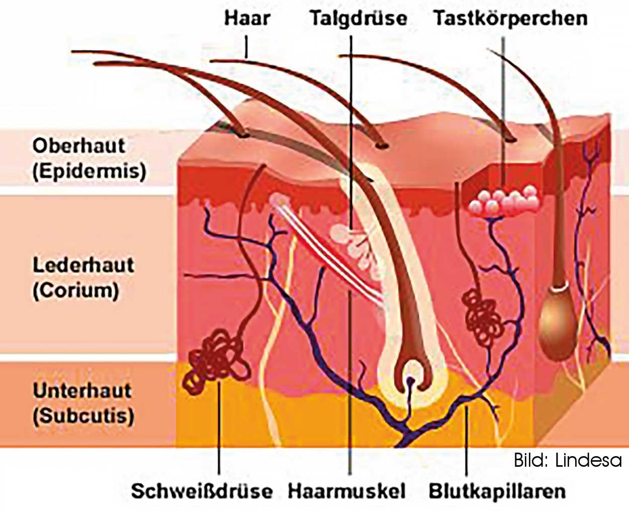 Fein Schweißdrüsen Ideen - Menschliche Anatomie Bilder ...