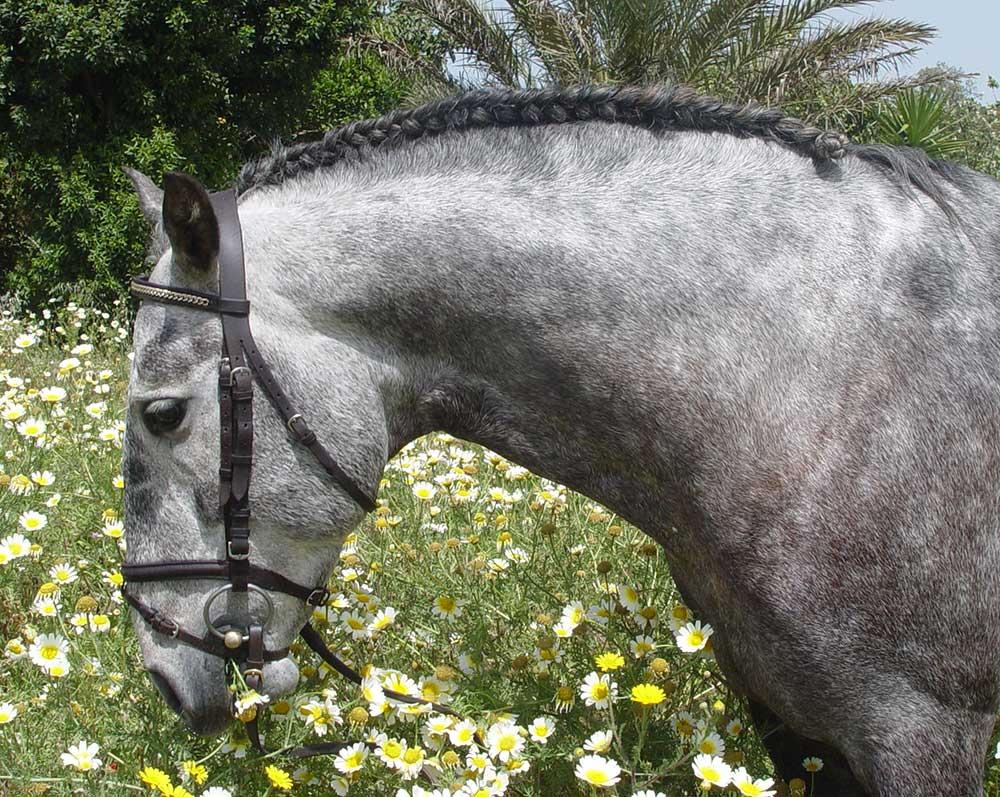 Top 5 Der Beliebtesten Pferdefrisuren Spanischer Zopf Hofreitschule