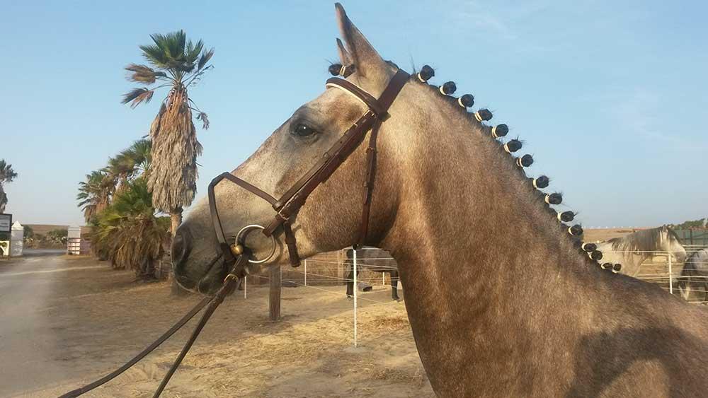 Top 5 Der Beliebtesten Pferdefrisuren Turnierzöpfe Hofreitschule