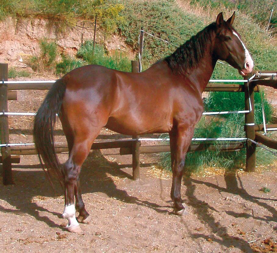 Spanische Pferde