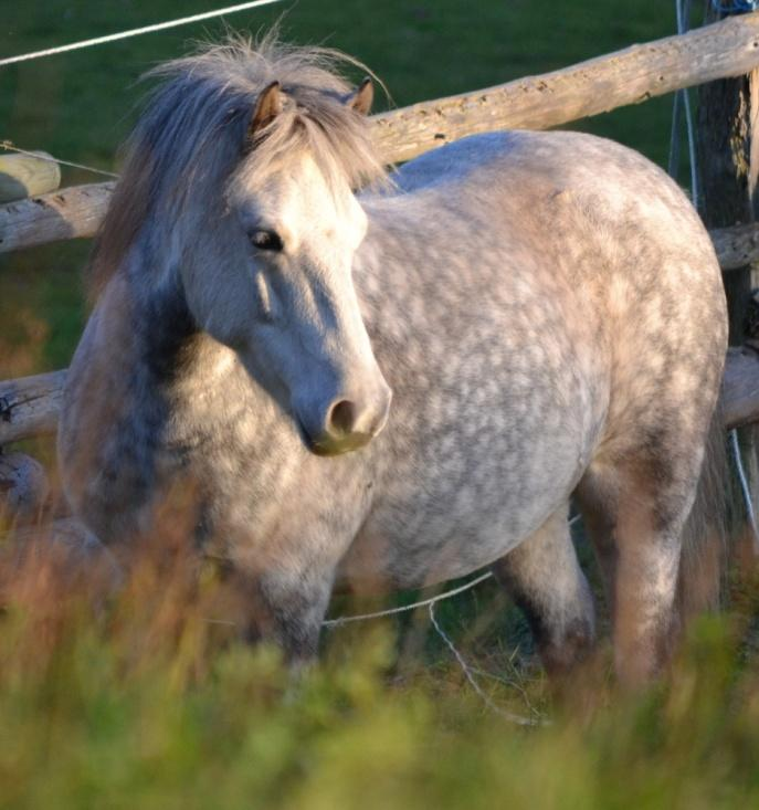 Hufrehe, Rehe, Behandlung, Hufkrankheit Pferd