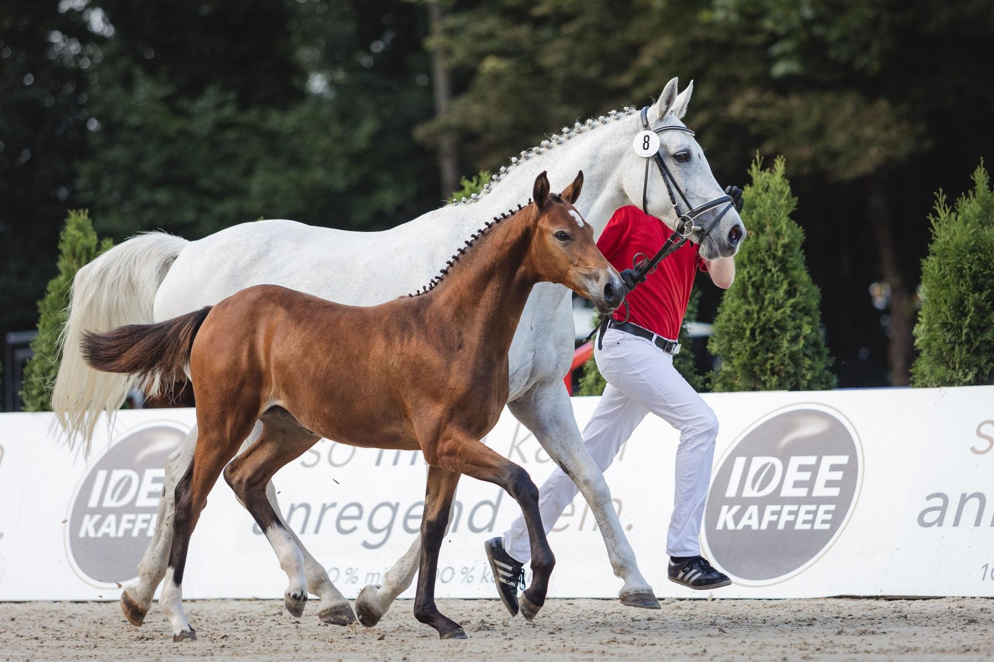 OWL Challenge, Paderborn reitturnier pferdezucht Stutenschau Fohlen